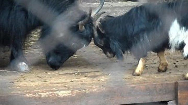 Ну козёл даёт ! Козел нападает на быка. (Пермь,пермский зоопарк,приколы с животными,юмор 2017,смешные животные)