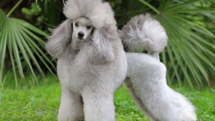 Пудель стандартный. Декоративная порода собак.Одна из самых умных порода собак