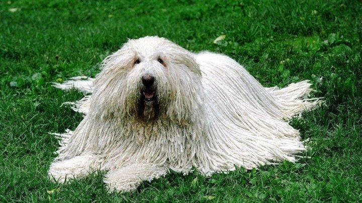 Порода собак.ПУЛИ.Одна из самых старинных и необычных пород собак