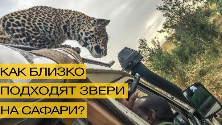Леопард запрыгнул на машину во время сафари-тура!