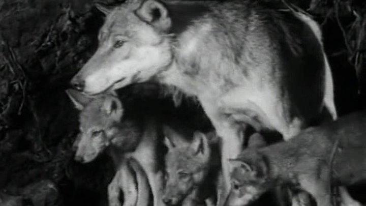 Белый Клык (СССР 1946 HD) Драма, Приключения, Семейный, Экранизация