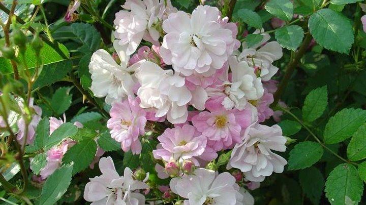 Роза Крылья ангела из семян