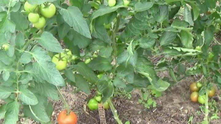 Просто отличный способ повышения завязи на помидорах
