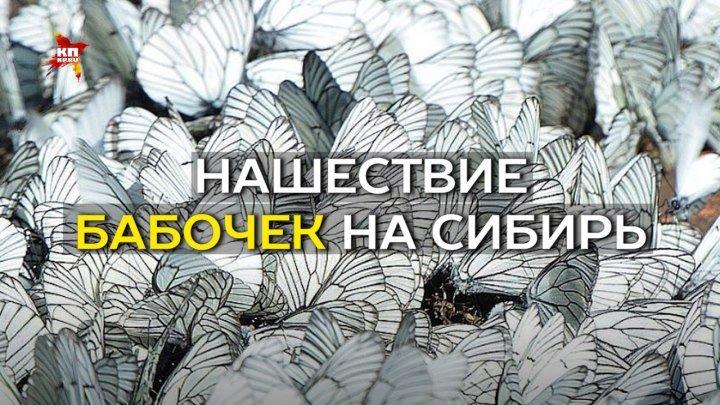 Нашествие бабочек на Сибирь