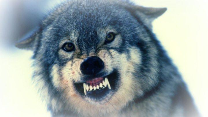 Шансон - одинокий волк HD