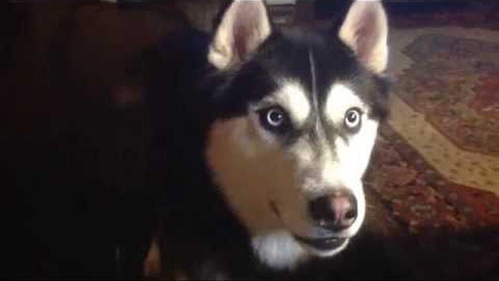 Говорящий Хаски. Я был в шоке, когда моя собака заговорила!