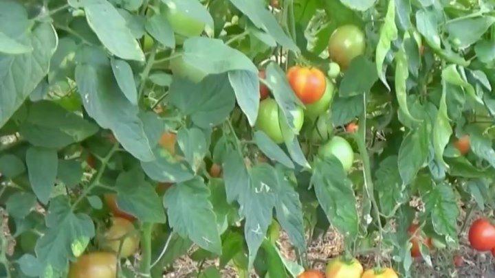 Дозаривание (дозревание) помидоров народными способами
