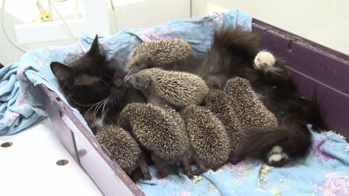 Самая настоящая мама! Кошка Муся усыновила восьмерых ёжиков-сирот!