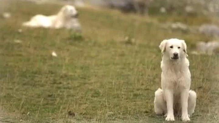 Собаки итальянских ковбоев. Планета собак 🌏 Моя Планета