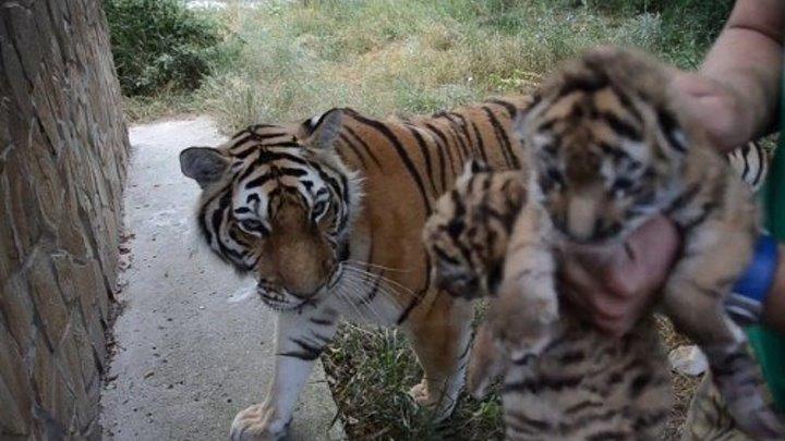 Тигрица принимает чужих тигрят