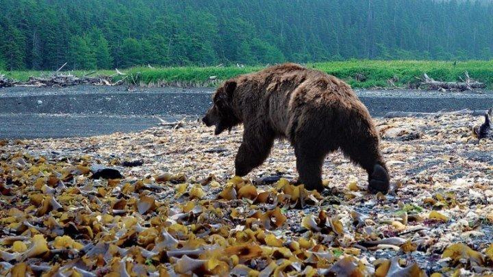Как вести себя при встрече с медведем 4K