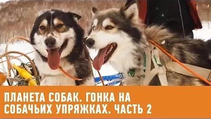Гонка на собачьих упряжках Берингия. Часть 2. Планета собак 🌏 Моя Планета
