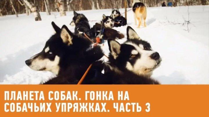 Гонка на собачьих упряжках Берингия. Часть 3. Планета собак 🌏 Моя Планета