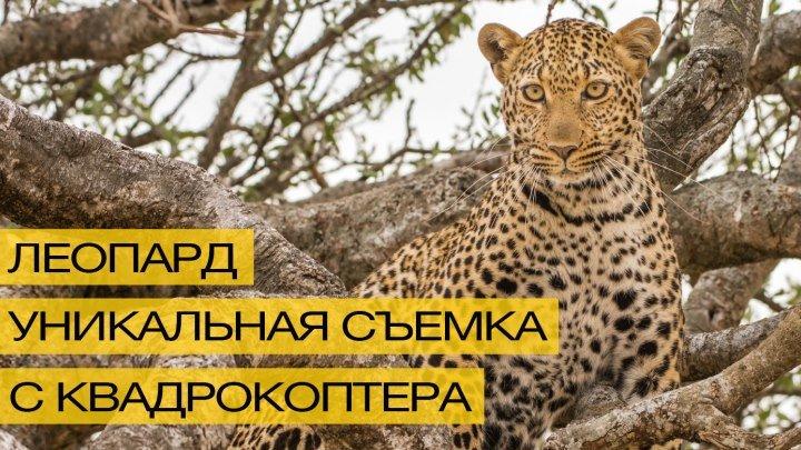Уникальное видео леопарда, снятое на квадрокоптер!