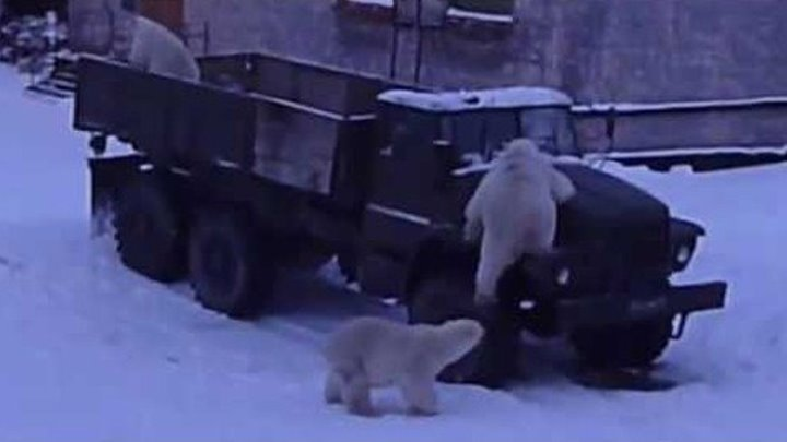 Три белых медведя залезли в кузов Урала