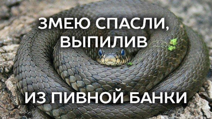 Змею спасли, выпилив из пивной банки.