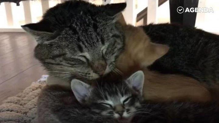 Старый дикий кот стал дедушкой для чужих котят