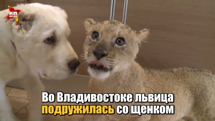 Во Владивостоке львица подружилась со щенком