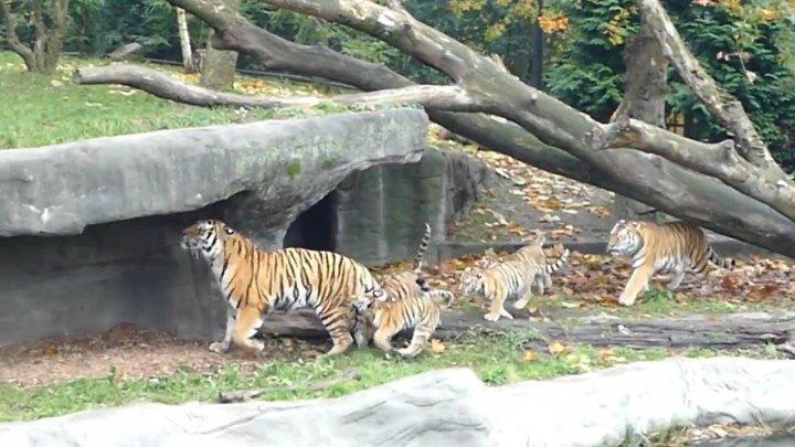 Тигр-папа пытался убежать от своих детёнышей во время первой встречи