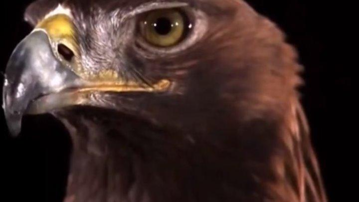 ВЕРСУС. АТАКА ОРЛА! Невероятные кадры нападения орлов