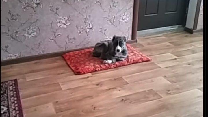 У щенка алабая есть любимая песня )