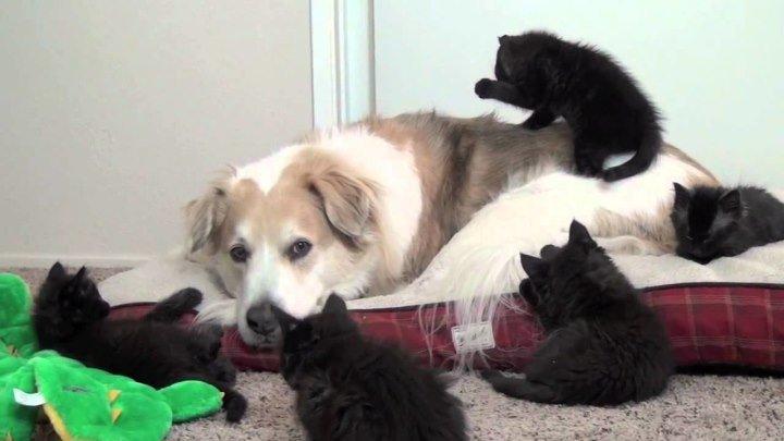 Куча котят мучают собаку)))