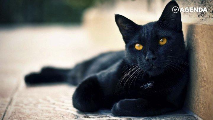 17 ноября — День защиты чёрных котов