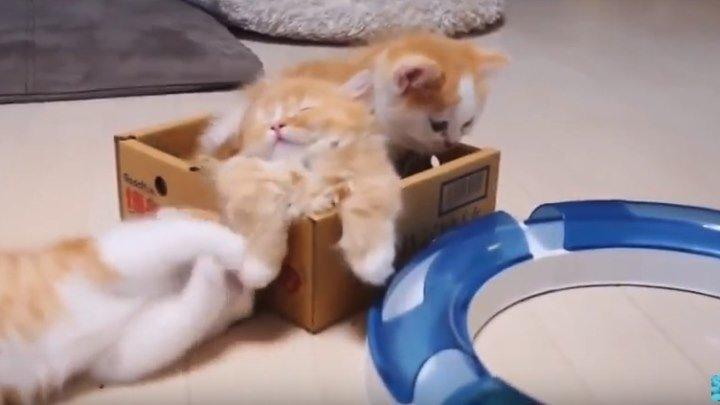 Манчкин - порода кошек. Munchkin cat
