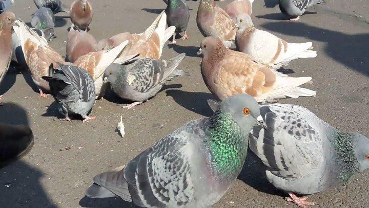 птицы голубей