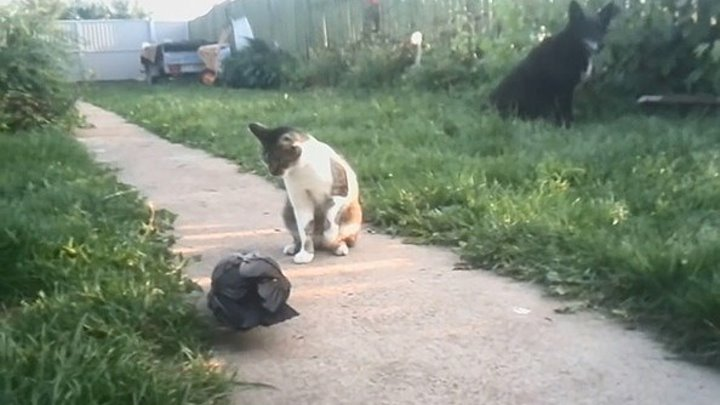 Ворона и кошка - высокие отношения
