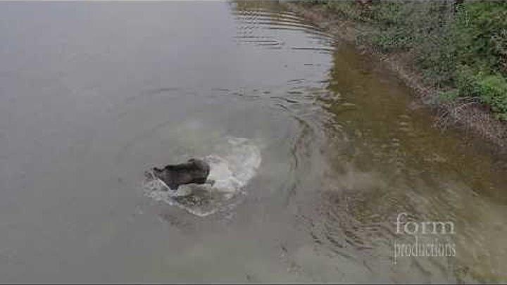 Схватка лося и волка на озере! Кто победит?