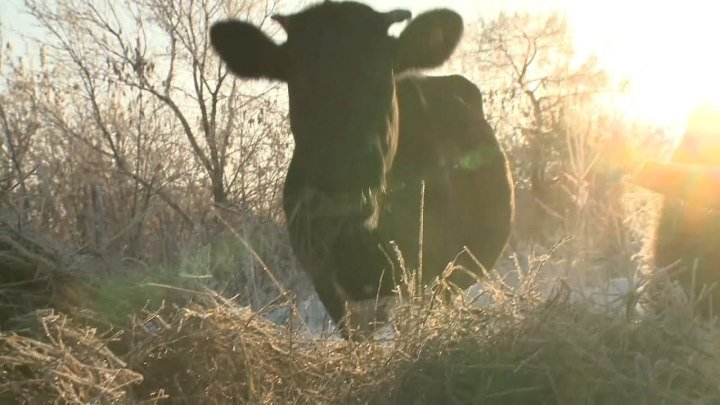 Фермер из Зауралья может получить четыре года лишения свободы за GPS-трекер для своей коровы