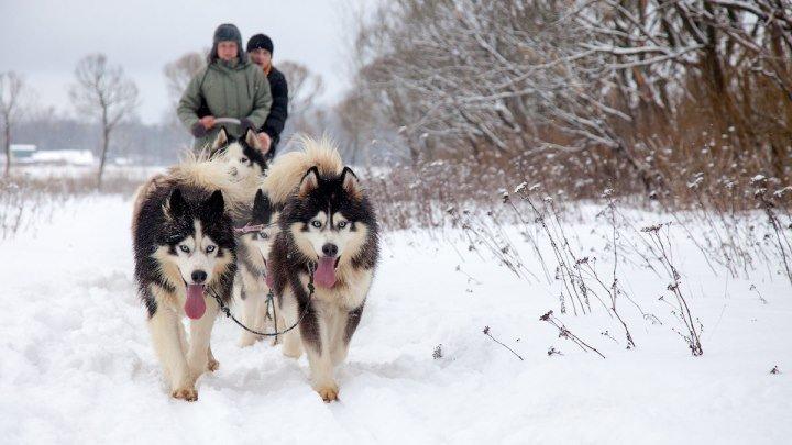 Интересная Камчатка. Снежные псы