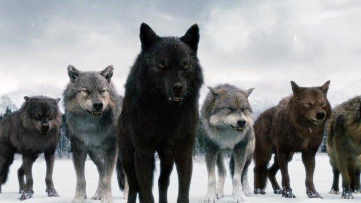 Закон Стаи. Клип про волка.