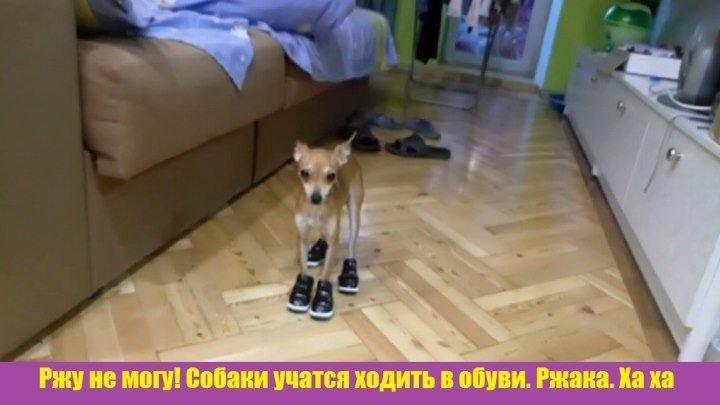 Ржу не могу! Собаки учатся ходить в обуви. Ржака. Ха ха 🐶🐶🐶