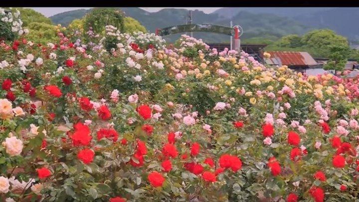 Mиллион алых роз на итальянском языке