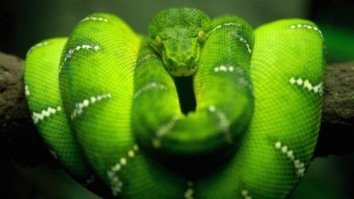 Красота Змей (Документальные фильмы Discovery HD) Смотреть интересный фильм про животных онлайн!