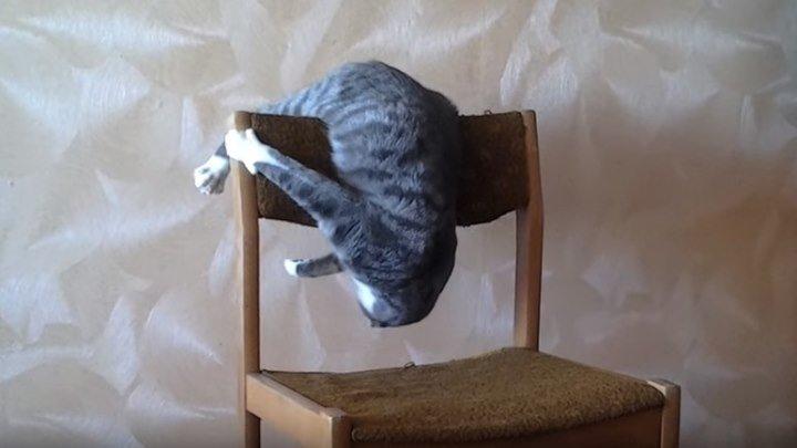 Кот акробат. Бешеный кот Семен Семеныч.