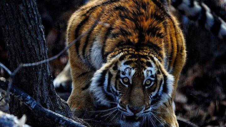 Дикая Россия: Сибирь HD(документальный природа животные)2009