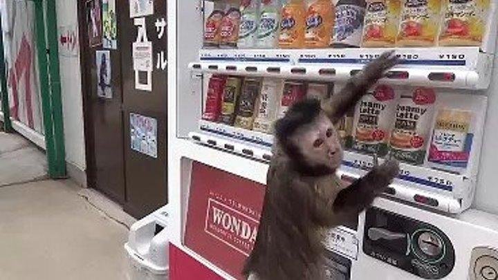 Обезьяна покупает сок
