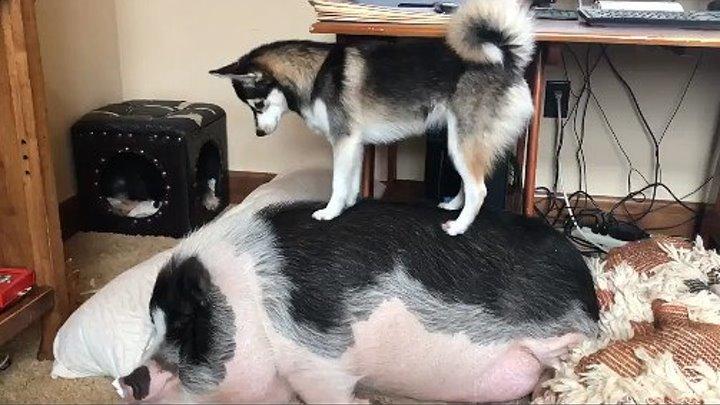 Вставай, свинья! Хватит уже спать..