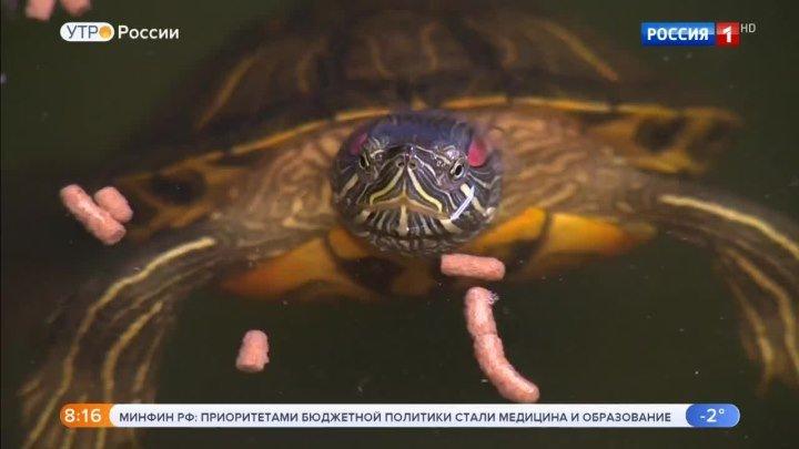 Красноухих черепах спасут от истребления