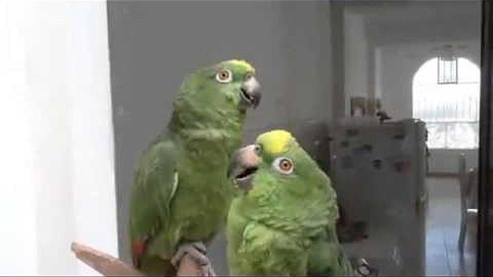 Пьяный дуэт попугаев Умереть не встать!