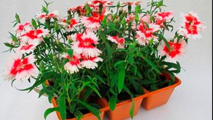 УДАЧНЫЙ СПОСОБ ПОСАДИТЬ ГВОЗДИКУ ТУРЕЦКУЮ НА РАССАДУ ! выращивание семена кипяток посев