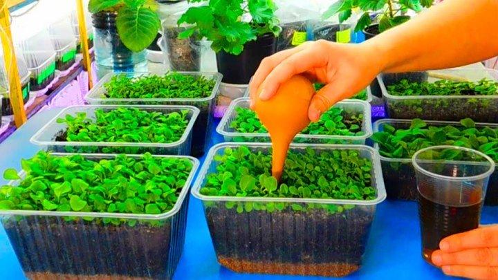 ЧЕМ ПОДКОРМИТЬ МЕЛКИЕ СЕЯНЦЫ ПЕТУНИИ ! Подкормка удобрение выращивание семена пикировка посев