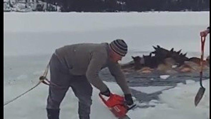 Мужчины несколько часов ломали лед...Спасение лосей!