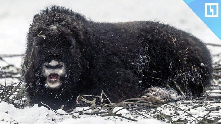Малыш овцебык родился в Московском зоопарке