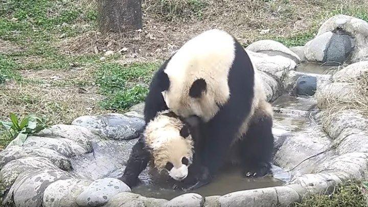 Панда мама пытается помыть малыша.