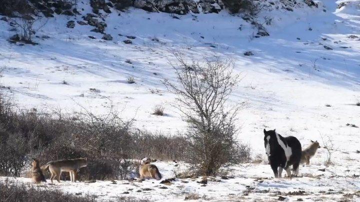 Лошадь тусуется рядом с волками и не боится их..