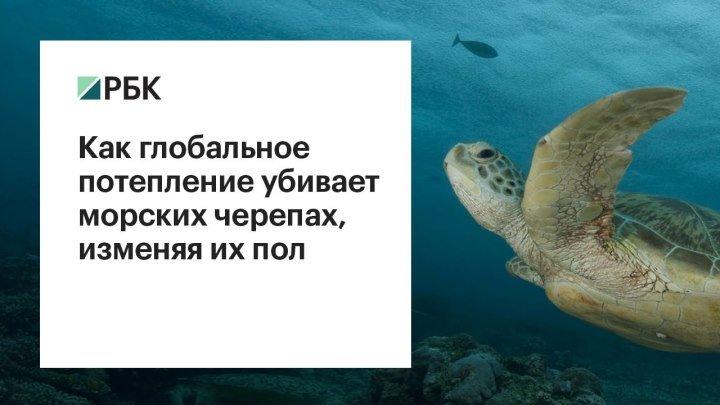 Как глобальное потепление убивает морских черепах